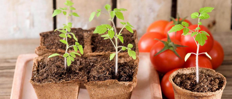 Рассада помидор. Выращивание.